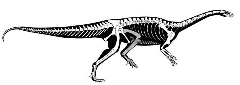 Macrocollum esqueleto