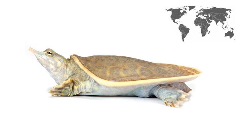 apalone ferox la tortuga de caparazon blando de florida