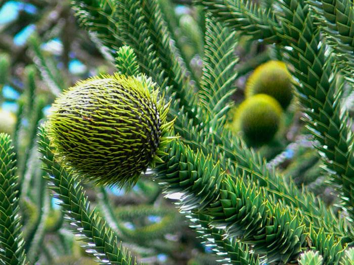 araucaria arbol primitivo del triasico