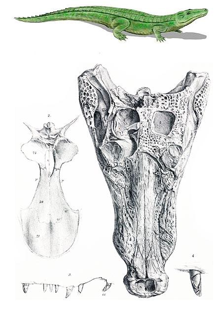 cráneo de un Goniopholis