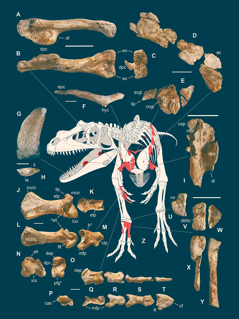 Fósiles de saltriovenator