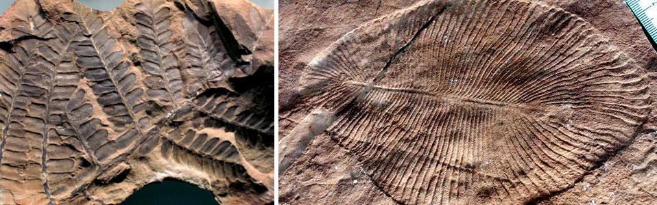 fosiles vegetales del periodo triasico