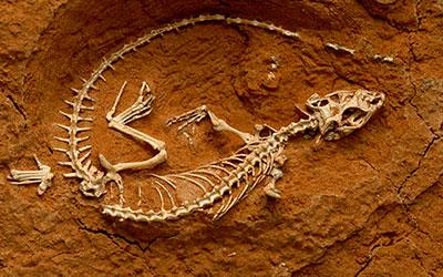 Fósil de dinosaurio - Paleontología