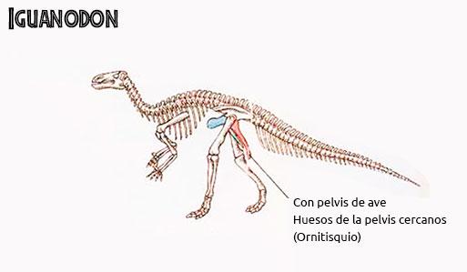 pelvis de iguanodonte