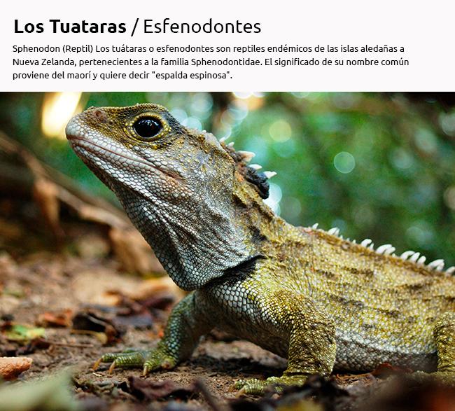 Tuatara. Un pariente lejano de los dinosaurios
